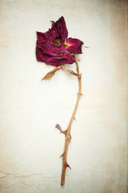 Sally Mundy WITHERED PURPLE ROSE ON PAPER Flowers
