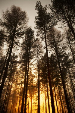 Iain Sarjeant TALL FIR TREES AT SUNSET Trees/Forest