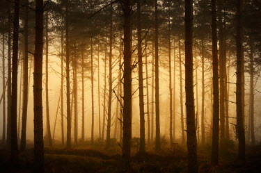 Iain Sarjeant MISTY FOREST AT DUSK Trees/Forest