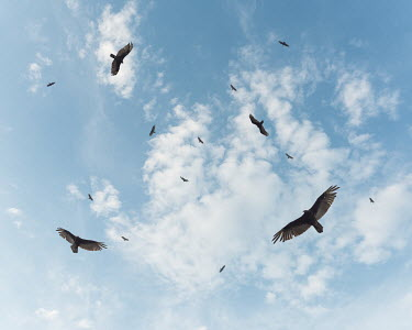 Logan Zillmer LARGE BIRDS FLYING IN BLUE SKY Birds