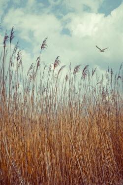 Drunaa reeds and bird under blue sky Fields