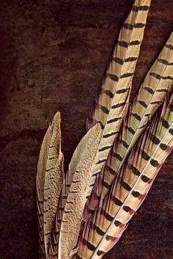 Isabelle Lafrance STRIPED BROWN PHEASANT FEATHERS Miscellaneous Objects