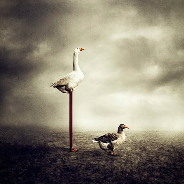 Alessandra Favetto SURREAL GEESE WITH VERY LONG LEGS Birds