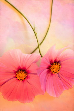 Jan Bickerton Two hot pink cosmos flowers Flowers