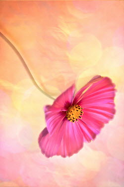 Jan Bickerton hot pink cosmos flower Flowers