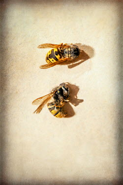 Sally Mundy TWO YELLOW WASPS Insects