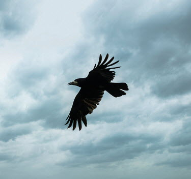 Stephen Mulcahey crow flying through cloudy sky Birds
