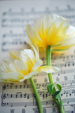 Susan O'Connor TWO YELLOW FLOWERS LYING ON SHEET MUSIC Flowers