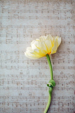 Susan O'Connor YELLOW FLOWER LYING ON SHEET MUSIC Flowers