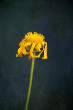 Jill Ferry DYING YELLOW DAISY FLOWER Flowers