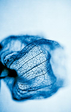 Jill Ferry DRIED VEINY BLUE FLOWER HUSK Flowers