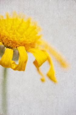 Jill Ferry WILTING YELLOW DAISY FLOWER Flowers