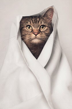 Emma Goulder TABBY CAT WRAPPED IN BLANKET Animals