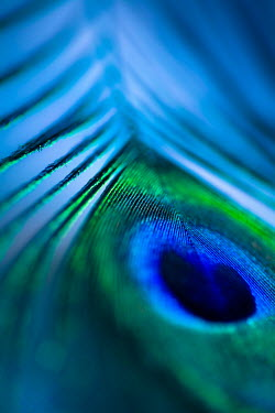 Jan Bickerton bright Peacock feather in macro Miscellaneous Objects