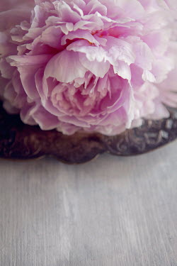 Isabelle Lafrance PASTEL PINK CARNATION FLOWER Flowers