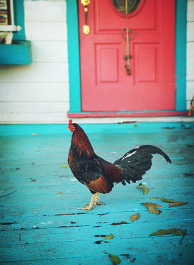 Mark Owen ROOSTER ON PORCH OF NEW ORLEANS HOUSE Birds