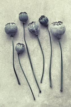 Peter Hatter DRIED POPPY HEADS AND STEMS Flowers