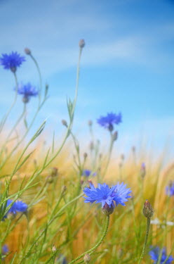 Maggie Brodie BLUE FLOWERS IN SUMMER MEADOW Flowers/Plants