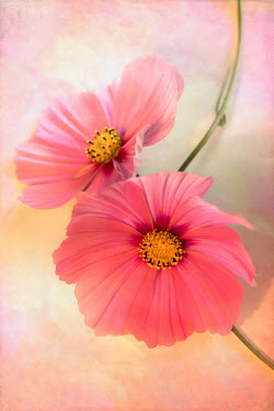 Jan Bickerton Two hot pink cosmos flowers. Flowers