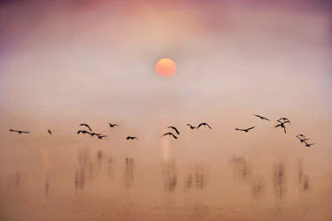 Adrian Leslie Campfield SILHOUETTE OF BIRDS FLYING OVER LAKE AT SUNSET Birds