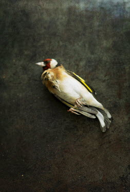 Jill Ferry DEAD BIRD WITH RED AND YELLOW FEATHERS Birds