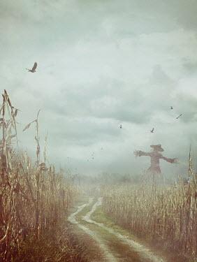 Drunaa scarecrow beside path through corn field Paths/Tracks