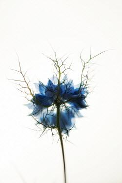 Sally Mundy BLUE SPIKY NIGELLA FLOWER Flowers