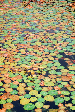 Michael Trevillion LILY PADS FLOATING ON POND Flowers/Plants