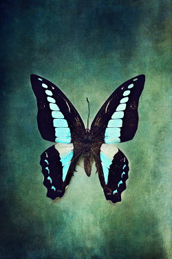 Stephanie Frey black and blue patterned Butterfly Insects