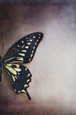 Stephanie Frey BLACK AND YELLOW PATTERNED BUTTERFLY Insects