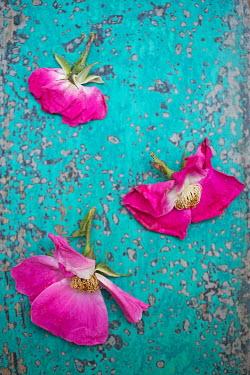 Alison Archinuk hot pink flowers on blue wood Flowers