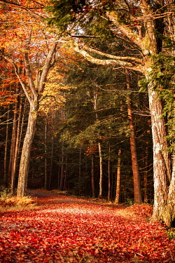 Jean Ladzinski PATH THROUGH EMPTY AUTUMN FOREST Trees/Forest
