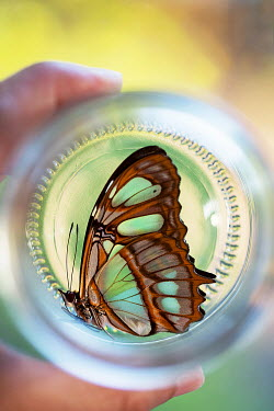 Alison Archinuk HAND HOLDING GLASS JAR WITH BUTTERFLY Insects