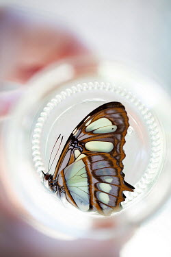 Alison Archinuk HAND HOLDING BUTTERFLY IN GLASS JAR Insects