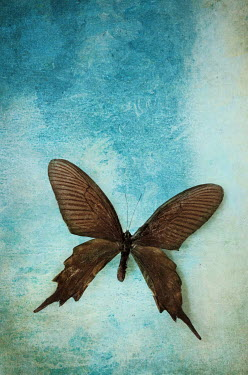 Stephanie Frey EXOTIC BROWN BUTTERFLY Insects