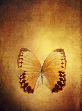 Stephanie Frey BUTTERFLY AND GOLDEN LIGHT Insects