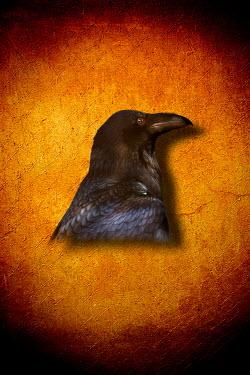 Valentino Sani HEAD OF BLACK BIRD Birds