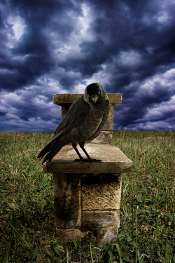 Valentino Sani CROW PERCHED ON STONE WALL IN FIELD Birds