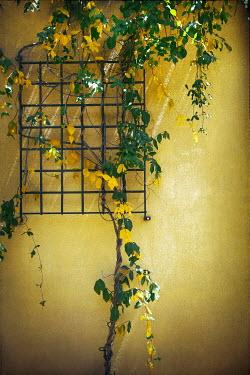 Irene Lamprakou YELLOW FLOWERS GROWING UP TRELLIS Flowers/Plants