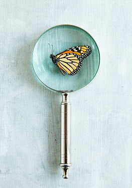 Isabelle Lafrance PATTERNED BUTTERFLY UNDER MAGNIFYING GLASS Insects