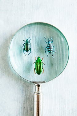 Isabelle Lafrance THREE BEETLE INSECTS UNDER MAGNIFYING GLASS Insects