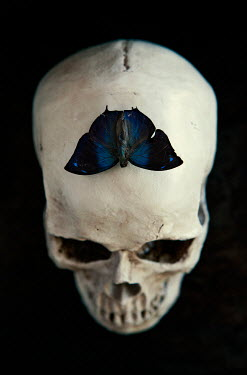 Isabelle Lafrance blue butterfly on human skull Insects