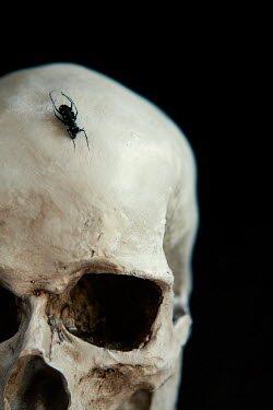 Isabelle Lafrance black beetle on human skull Insects