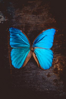 Des Panteva BRIGHT TURQUOISE BLUE BUTTERFLY Insects