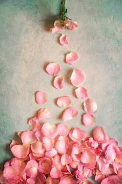 Galya Ivanova SCATTERED PINK FLOWER PETALS Flowers