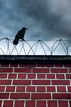 Valentino Sani BLACK BIRD ON WALL WITH BARBED WIRE Birds