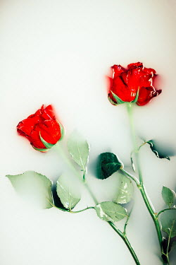 Laura Ranftler RED ROSES FLOATING IN WHITE LIQUID Flowers