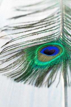 Benjamin Harte PEACOCK FEATHER LYING ON WHITE TABLE Miscellaneous Objects