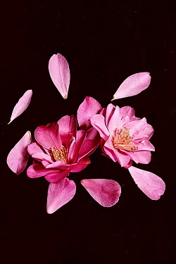 Jill Ferry PINK FLOWER WITH SCATTERED PETALS Flowers