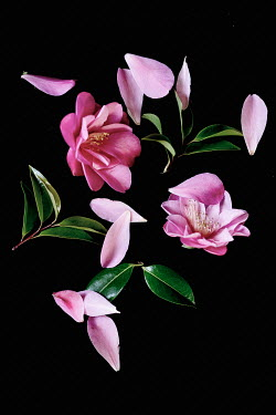 Jill Ferry PINK FLOWERS WITH SCATTERED PETALS Flowers